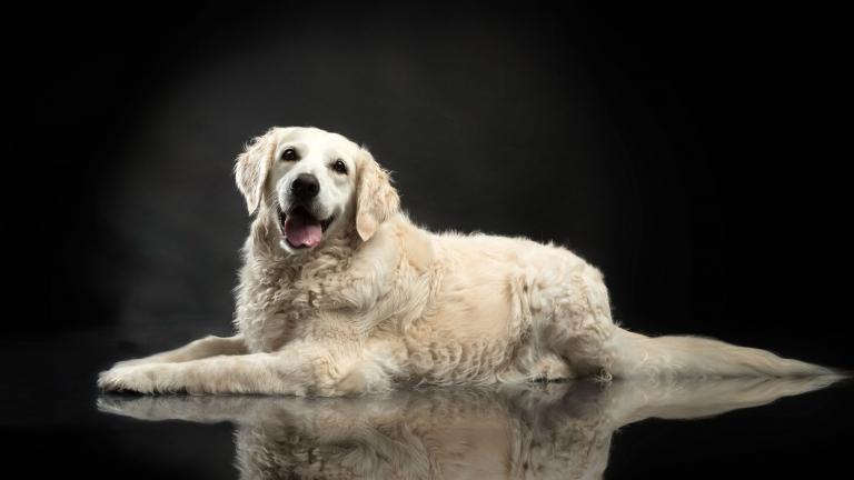 portret van een vrolijke witte golden retriever in fotostudio - Studio Ketels de huisdierenfotograaf
