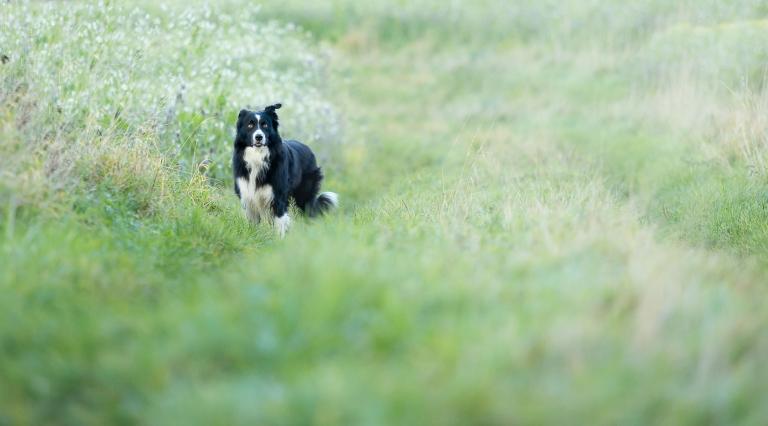 Een portret van een zwarte border collie mogen door groenen grassen. De hond staat verder weg en kijkt met wakkere blik in de richting van de fotograaf. Huisdierenportret door hondenfotograaf Studio Ketels