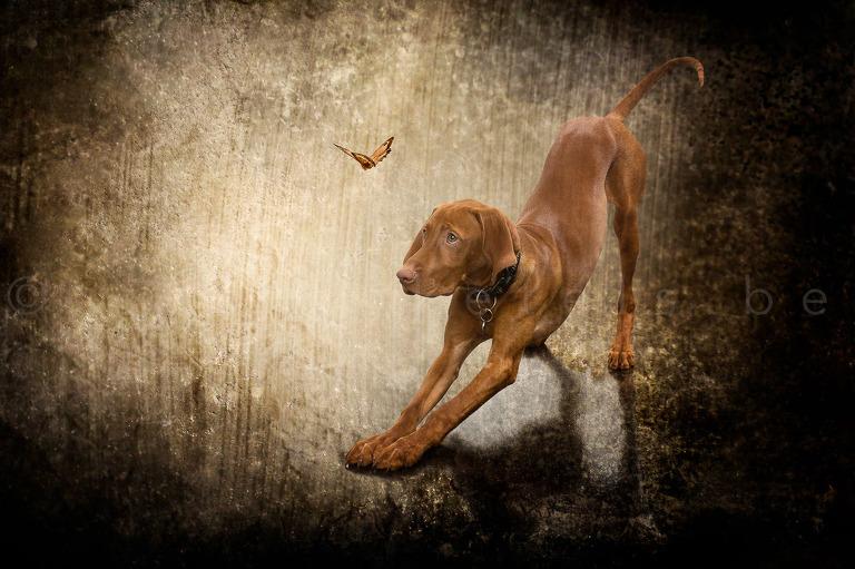 Fine-art-portret van een visla puppy, die opkijkt naar een vlindertje. Fine-Art-portrait Visla puppy, looking up to a butterfly. Work by Karen Ketels, Studio Ketels